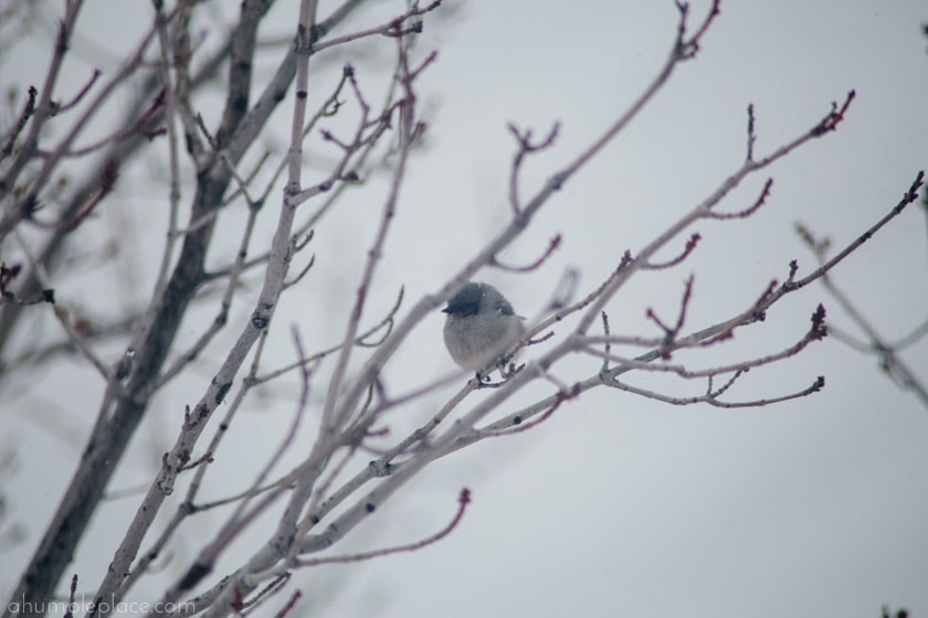 bushtit...one of the more unfortunate bird kingdom names (ahumbleplace.com)