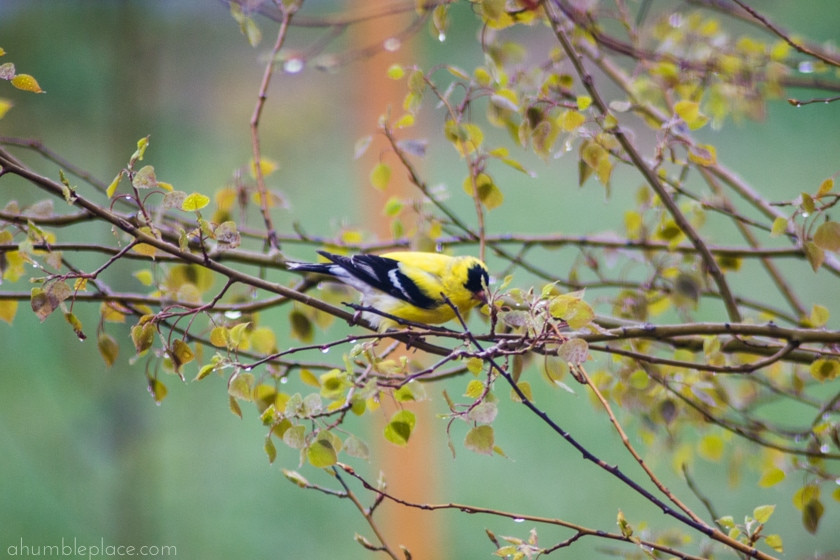 American Goldfinch - ahumbleplace.com