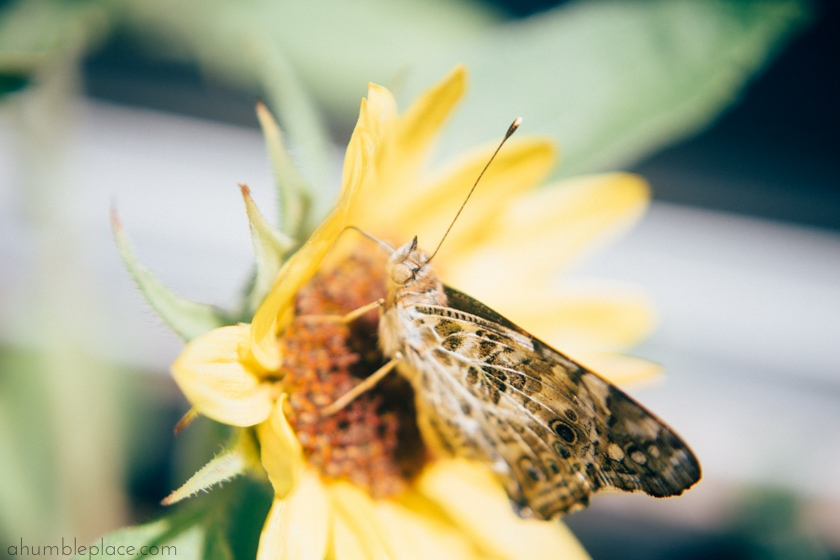 Painted Lady Butterfly - ahumbleplace.com