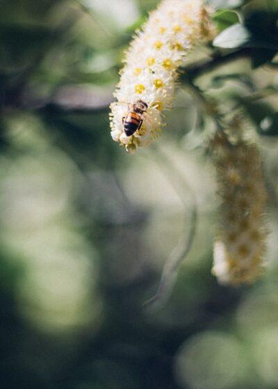 Honeybee on black cherry blossoms. - ahumbleplace.com