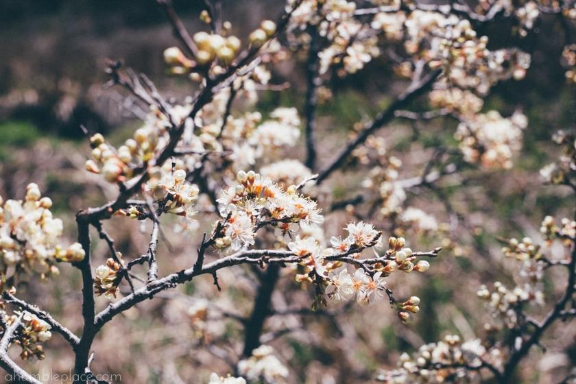 Wild blossoms. - ahumbleplace.com