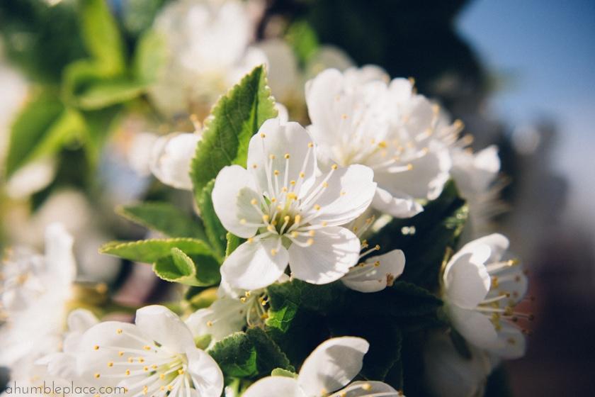 Springtime sakura. - ahumbleplace.com