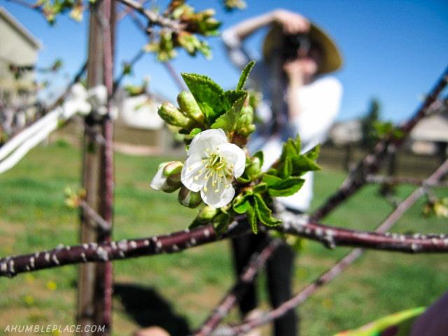 Cherry blossom by B. - ahumbleplace.com