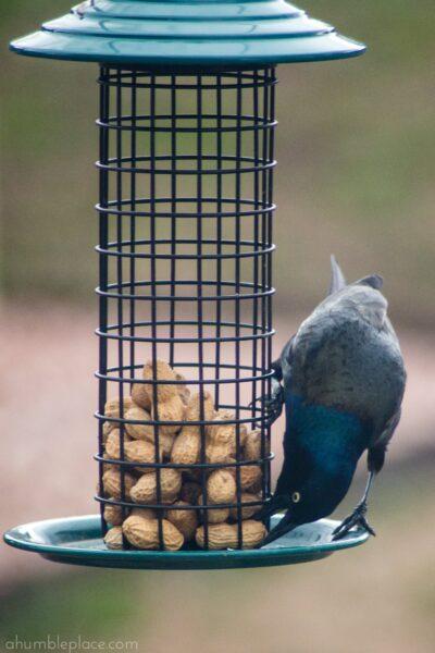 Backyard Birding for Beginners - ahumbleplace.com