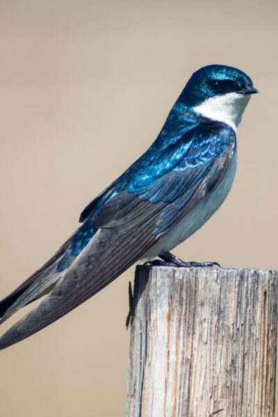 Tree Swallow - ahumbleplace.com