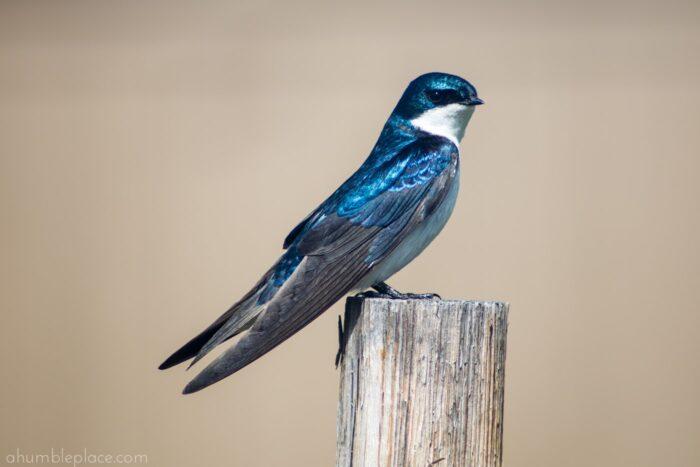 Tree Swallow - ahumbleplace.com