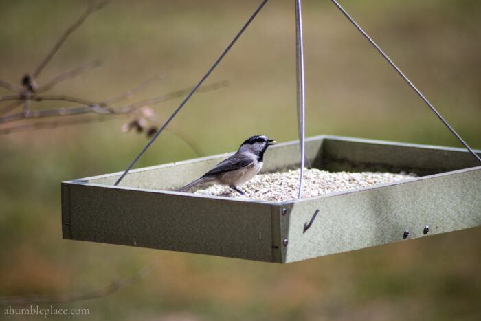 Mountain Chickadee - ahumbleplace.com