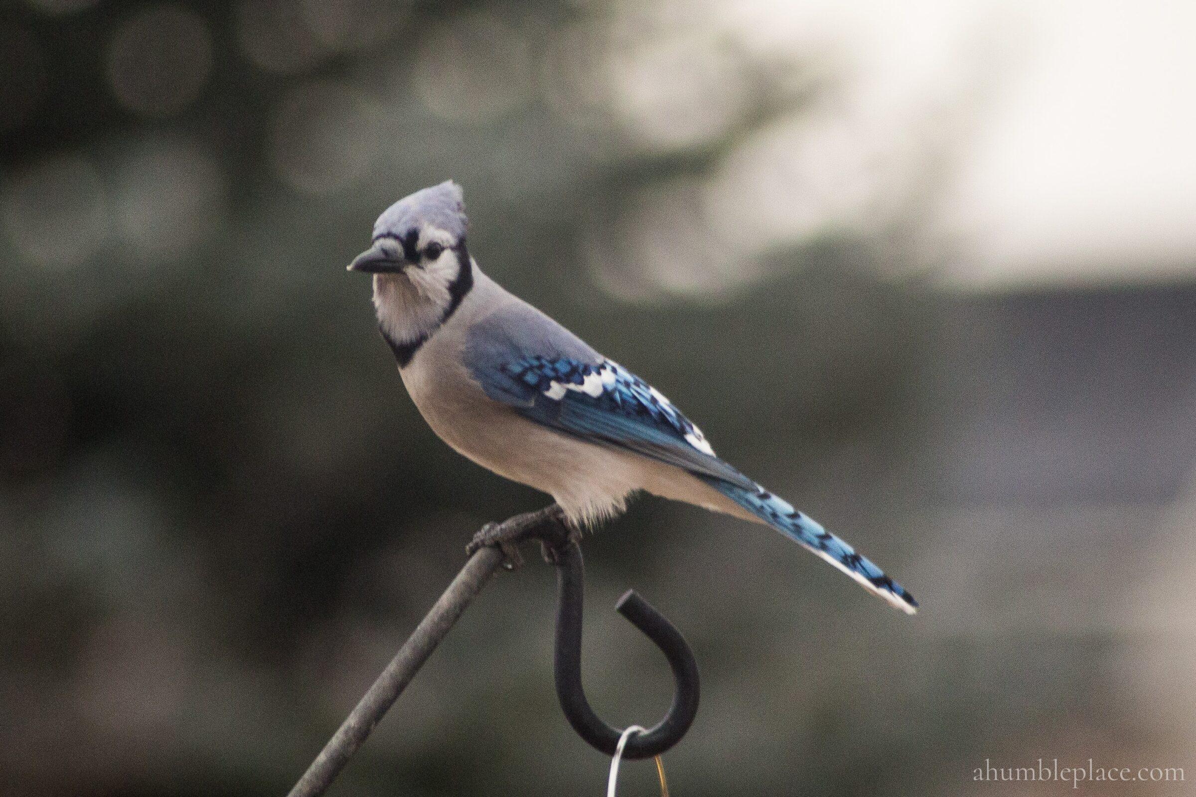 Blue Jay - ahumbleplace.com
