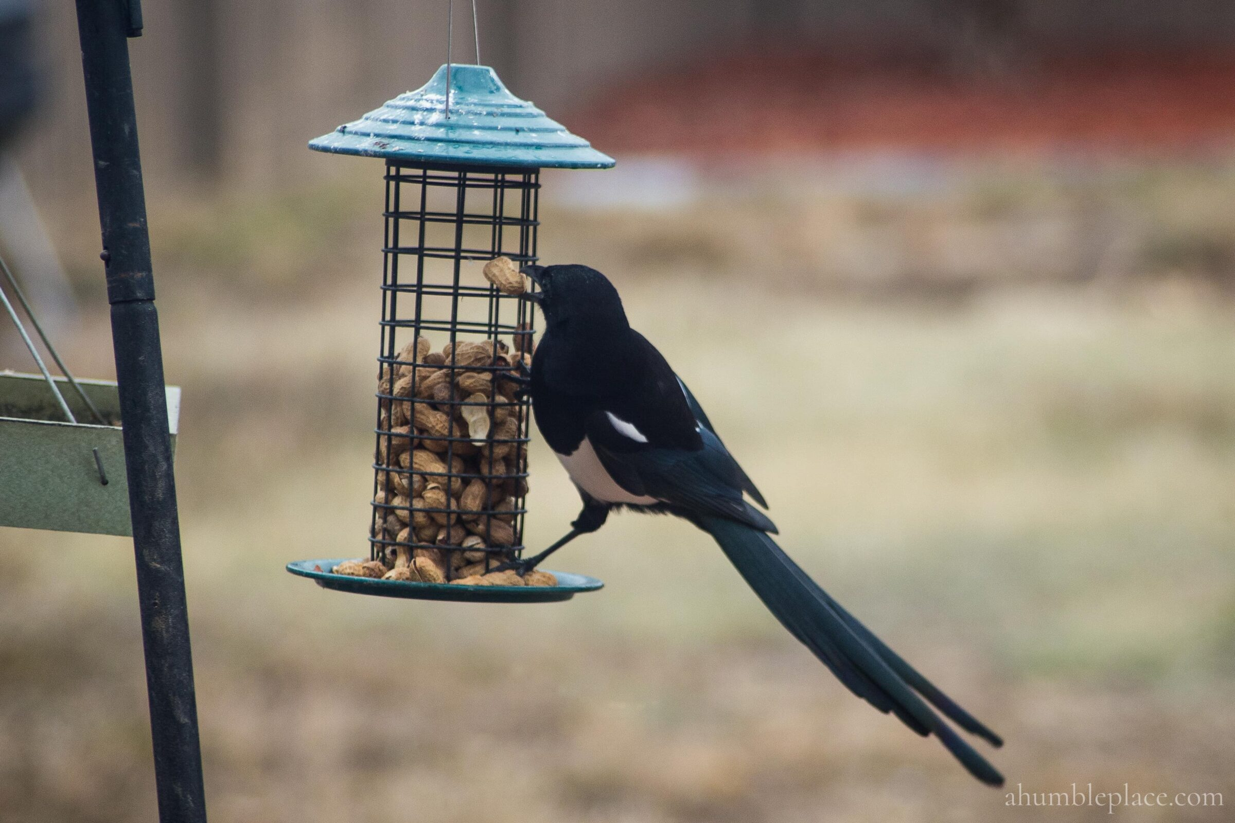Black-billed Magpie - ahumbleplace.com