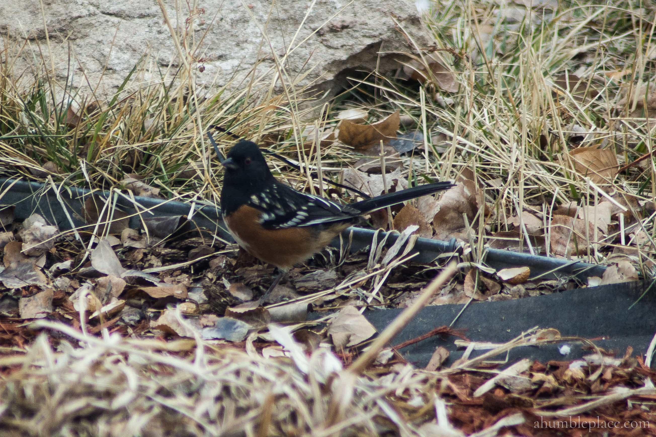 Spotted Towhee - ahumbleplace.com