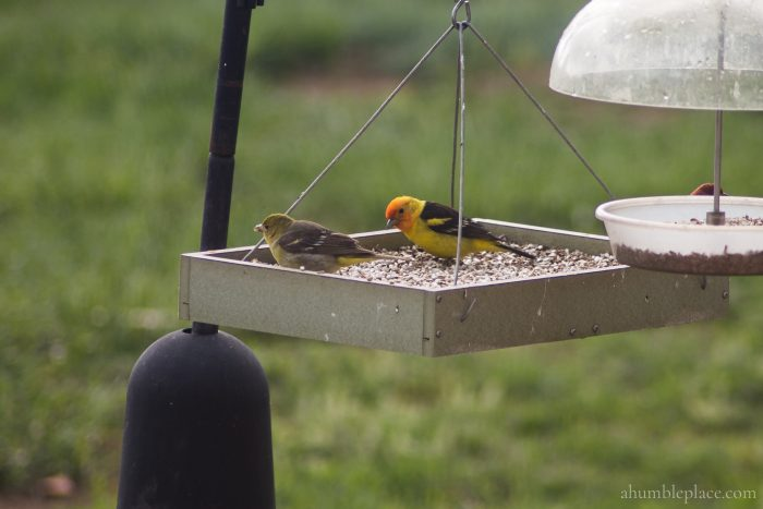 Western Tanager - ahumbleplace.com